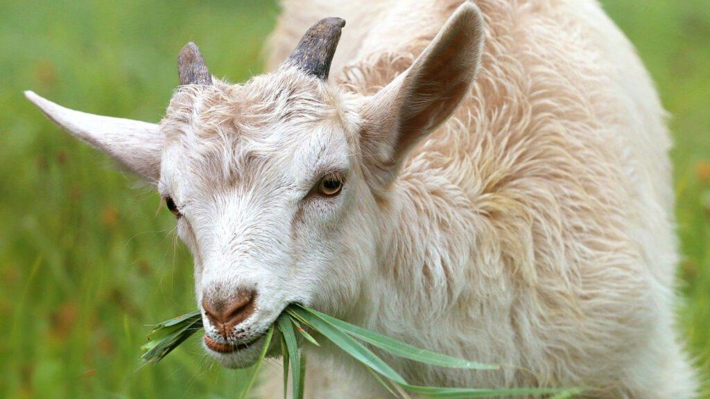 Savourer un fromage de chèvre fermier au lait cru